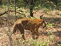 The Indian Tiger (Panthera tigris).jpg