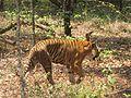 The Indian Tiger (Panthera tigris).jpg