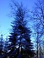 The big firetree. November 2013. - Большая ель. Ноябрь 2013. - panoramio.jpg