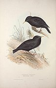 The birds of Europe (1837) (14771852383).jpg