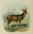 The deer of all lands (1898) Malayan sambar.png