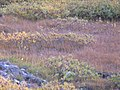The tundra growth (232050989).jpg