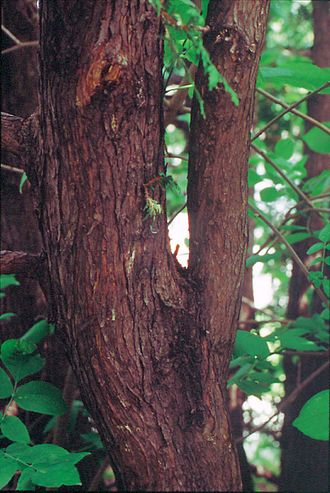Thuja occidentalis - Trunk