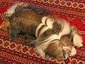 TibetanTerrier-Dali-4.jpg