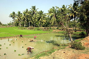 Economy of India -  Rice fields near Puri, Odisha on India's east coast
