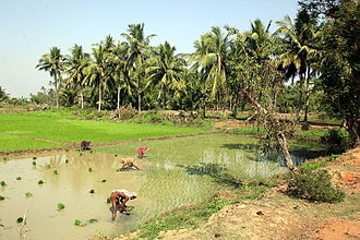 Economy of India - Rice fields near Puri, Odisha on India's east coast
