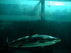 Tiger shark swimming below tubing visitors in acrylic tunnel at Atlantis.