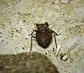 Toad Bug. Gelastocoris species (41066663960).jpg