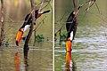 Toco toucan (Ramphastos toco) drinking composite.jpg