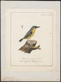 Todirostrum cinereum - 1700-1880 - Print - Iconographia Zoologica - Special Collections University of Amsterdam - UBA01 IZ16500257.tif