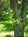Topola wielkolistna Populus lasiocarpa.jpg