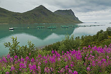 Torskefjorden with fish farms and fireweed.jpg