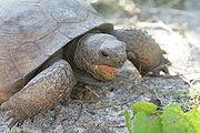 Tortoise in Hugh Taylor Birch State Park 2.JPG