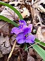 Tradescantia virginiana - Virginia Spiderwort.jpg