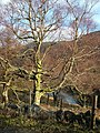Tree above Loch Doine - geograph.org.uk - 346881.jpg