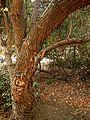 Tree at the campsite - panoramio.jpg
