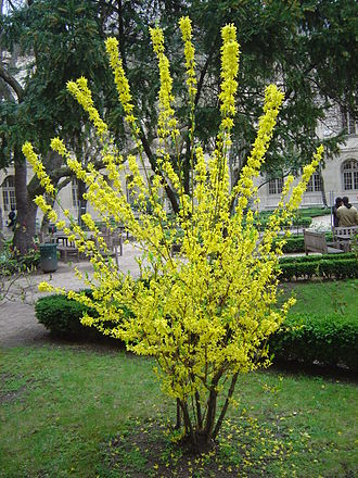 Forsythia - Image: Tree dsc 00856
