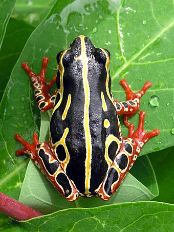 The bright colours of the common reed frog (Hyperolius viridiflavus) are typical of a toxic species Tree frog congo.jpg