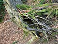 Tree roots near Old Wardour Castle - geograph.org.uk - 1705746.jpg