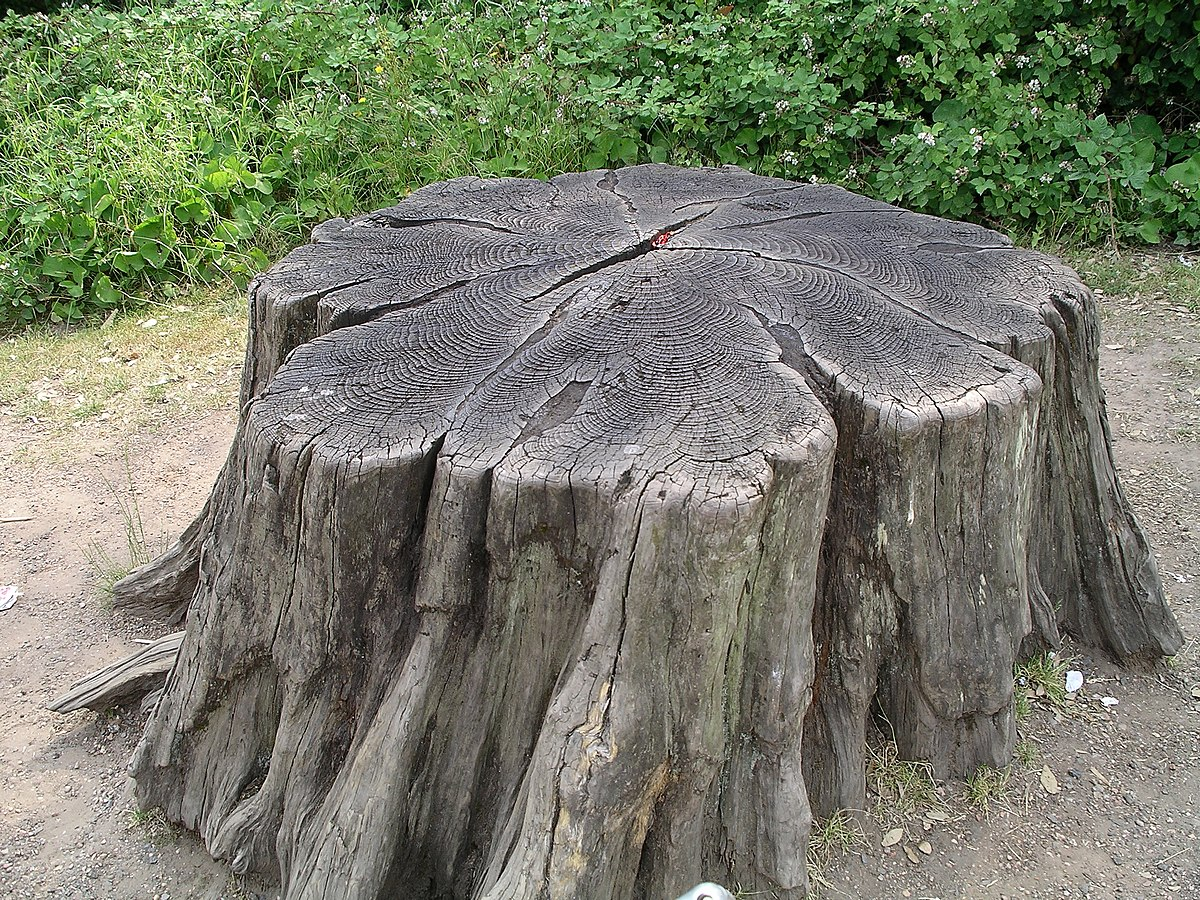 Tree stump wikipedia What is the meaning of tree