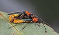 Tricolor Soldier Beetle (Chauliognathus tricolor) (32807583493).jpg