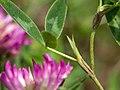 TrifoliumMediumStipules1.jpg