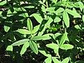 Trifolium pannonicum Koniczyna pannońska 2009-05-24 02.jpg