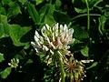 Trifolium repens flower1 (10733643215).jpg