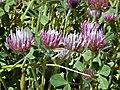 Trifoliumhirtum1.jpg