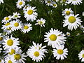 Tripleurospermum inodorum-1.jpg