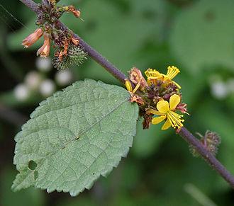 Triumfetta - Triumfetta rhomboidea