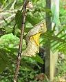 Troides minos - Southern Birdwing pupa at Thattekkadu (10).jpg