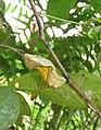 Troides minos - Southern Birdwing pupa at Thattekkadu (4).jpg