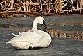 Trumpeter Swan on Seedskadee NWR (25274425130).jpg