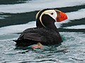 Tufted Puffin RWD2.jpg