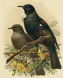 Adult and young tui illustration from A History of the Birds of New Zealand, Buller,1888