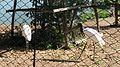 Tuiuius no Zoológico da UFMT - panoramio.jpg