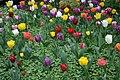 Tulipes en fleur au Jardin Massey de Tarbes 18.jpg