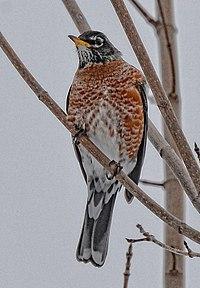 Turdus migratorius f(winter) Toronto.jpg