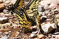 Two-tailed Swallowtail Butterfly - South Fork - Cave Creek - AZ - 2015-07-24at11-56-345 (20123995784).jpg