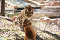 Udaya tigressandcub.jpg
