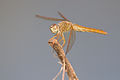 Unidentified Dragonfly 9834 - Doi Inthanon.jpg