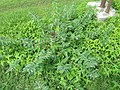 Unidentified Pedaliaceae Madura plant.JPG