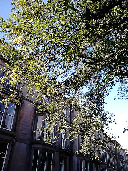 File unknown ulmus foliage buckingham terrace for 55 buckstone terrace edinburgh