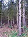 Unusual woodland - geograph.org.uk - 718910.jpg