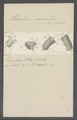 Urceolaris sacculus - - Print - Iconographia Zoologica - Special Collections University of Amsterdam - UBAINV0274 113 21 0015.tif