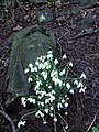 Urn and snowdrops - geograph.org.uk - 337065.jpg