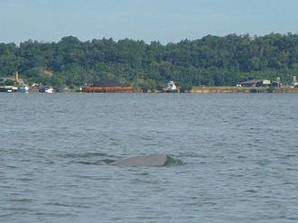 Irrawaddy dolphin - Specimen in Kalimantan