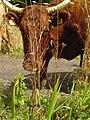 Vache Salers - 1.jpg