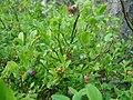 Various stages of Swedish blueberries.jpg